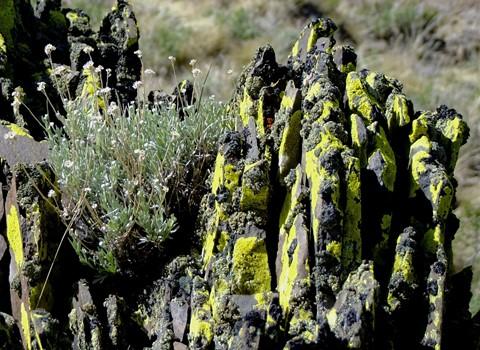 High Desert Lichen