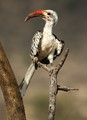Red Billed Hornbill, Samburu NP, Kenya
