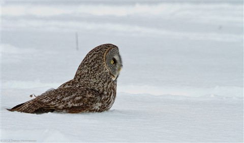 Great Grey Owl - 2013-02-09 - 5
