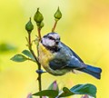 Bluetit mother collecting aphids