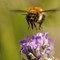 bee in flight 7x5jpg