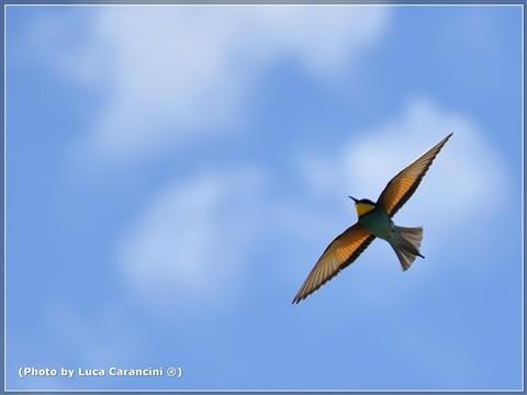 Merops apiaster (Gruccione) n.5