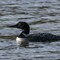 Common Loon at Lake Olathe   002   03 18 17