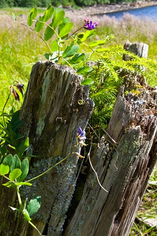 Lichen and Beach Pea on an Old Piling