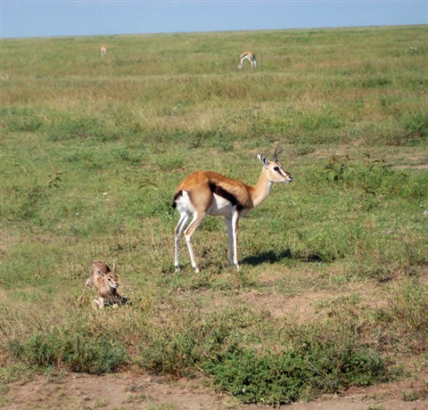 Serengeti Springboks