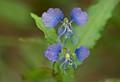 Day Flower