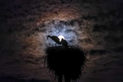Midnight Storks