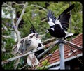 A territorial stand-off between 2 magpies and 1 Kookaburra. The Kookaburra is the largest of the Kingfisher species, it's diet includes snakes. The Magpies diet includes rodents and grubs.