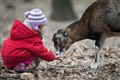 Little girl feeds mouflon