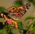 Painted Lady And Tiny Stowaway