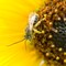 20210917-DR404255: Long-horned solitary bee on sunflower.