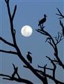 roosting storks