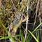 Frog on Sgurr an Utha