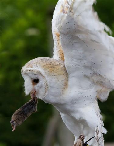 barn-owl-(2)