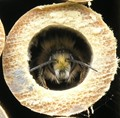 Bee in Bamboo Cane
