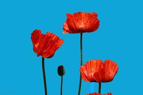 poppies 006++ (1600x1067)