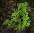 Jones Trail Fern
