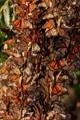 IMG_7719-Monarchs