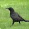 American Crow 3 Origwk1_MG_2967