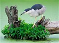 night heron on leafy stump