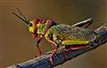 Emperor Locust