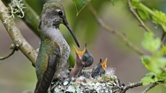 Anna Hummingbird Feeding Young