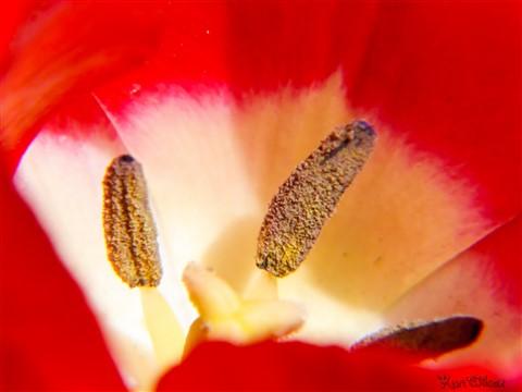 tulip +4-1050241