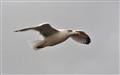 Seagull_2711