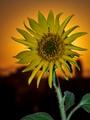 sunflower against the sun