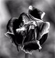 Tulip_0393