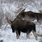 "Bull Moose ""buddies"""