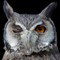 White faced Owl Wink