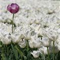 Lost Tulip