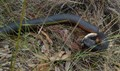 black snake catches blue tongued lizard