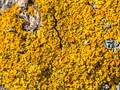 Yelow lichen