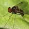 Fly - Chrysopilus cristatus (Black Snipe Fly)