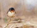 swallow5