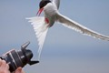 Arctic Tern Photo Bomb