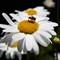 OMD-Giant-Daisy-Fly