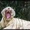tiger(dp)