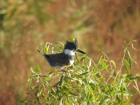 Kingfisher @ 2000mm - Nikon P900