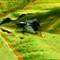 Dscf5834matingflies