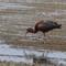 IMG_0423 Glossy Ibis