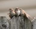 Three Fledglings