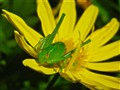 Katydid On Daisy