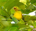 A chick of the common Iora crying for mum
