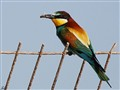 Bee Eater