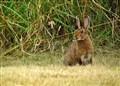 Euroean Hare