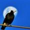 MOON BIRD!