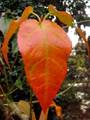 Flowering Cherry Tree Leaf